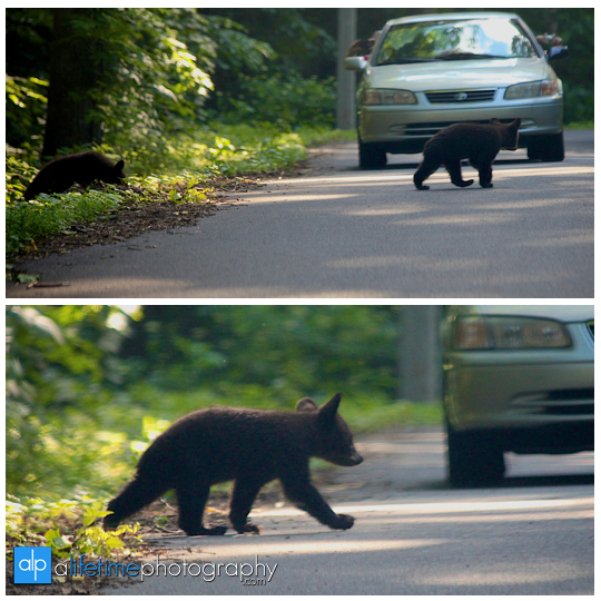 smoky-mountain-bears-photography-photographer-see-spot-wildlife-baby-cubs-mother-trash-Gatlinburg-Pigeon-Forge-digging-black-2