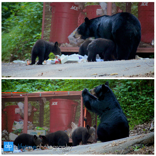 smoky-mountain-bears-photography-photographer-see-spot-wildlife-baby-cubs-mother-trash-Gatlinburg-Pigeon-Forge-digging-black-4