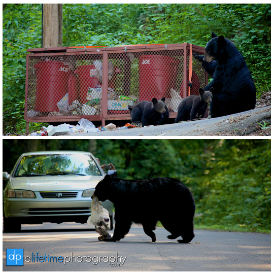 smoky-mountain-bears-photography-photographer-see-spot-wildlife-baby-cubs-mother-trash-Gatlinburg-Pigeon-Forge-digging-black-5