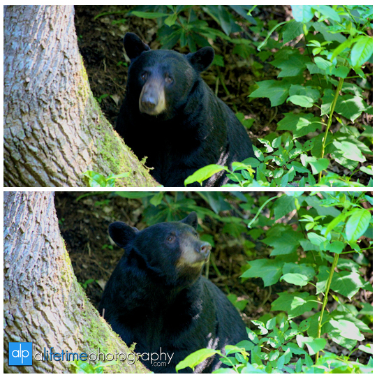 smoky-mountain-bears-photography-photographer-see-spot-wildlife-baby-cubs-mother-trash-Gatlinburg-Pigeon-Forge-digging-black-6