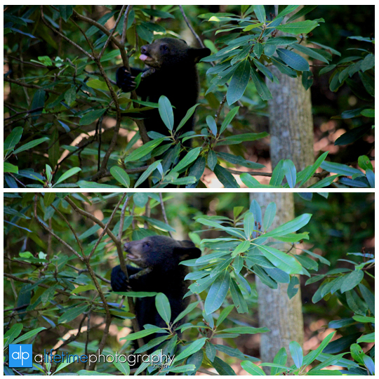 smoky-mountain-bears-photography-photographer-see-spot-wildlife-baby-cubs-mother-trash-Gatlinburg-Pigeon-Forge-digging-black-7