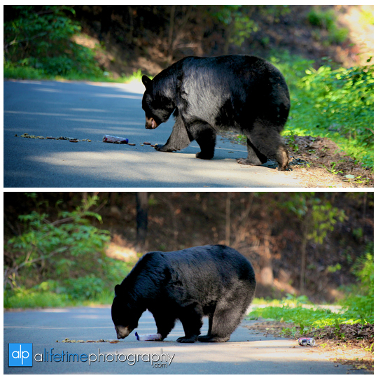 smoky-mountain-bears-photography-photographer-see-spot-wildlife-baby-cubs-mother-trash-Gatlinburg-Pigeon-Forge-digging-black-8
