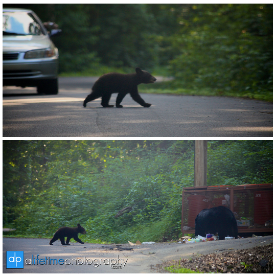 smoky-mountain-bears-photography-photographer-see-spot-wildlife-baby-cubs-mother-trash-Gatlinburg-Pigeon-Forge-digging-black